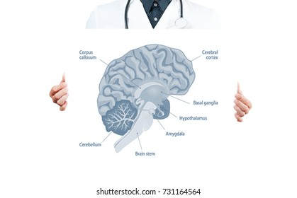 Human Braint. Doctor and Anatomy of human brain for basic medical education