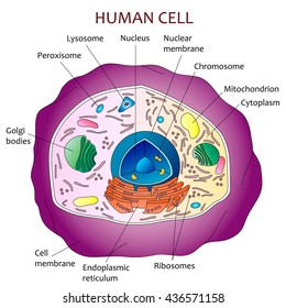 Plant cell diagram vector illustration structure stock vector human cell diagram illustration on white background ccuart Images