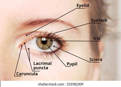 Human eye anatomy diagram - medical description.