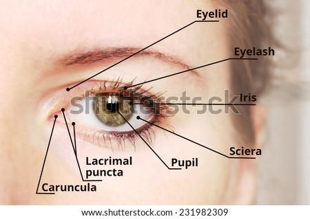 Human Eye Anatomy Diagram Medical Description Stock Photo Edit Now