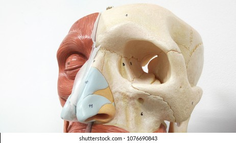 human face muscle