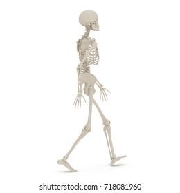 Human Female Skeleton walking pose on white. 3D illustration