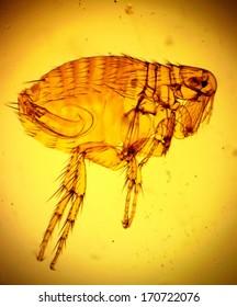 Human flea (Pulex irritans) - permanent slide plate under high magnification