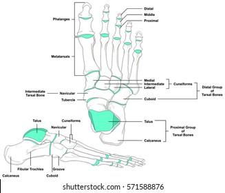 foot bones images stock photos vectors shutterstock. Black Bedroom Furniture Sets. Home Design Ideas