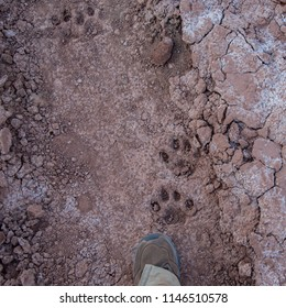 A human foot for comparison to mountain lion footprints along the Green River in Canyonlands National Park, Utah