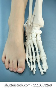 Human foot and model of human foot, anatomy, comparison