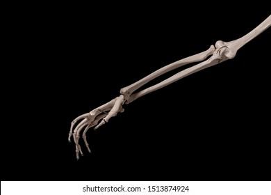 human forearm skeleton anatomybone