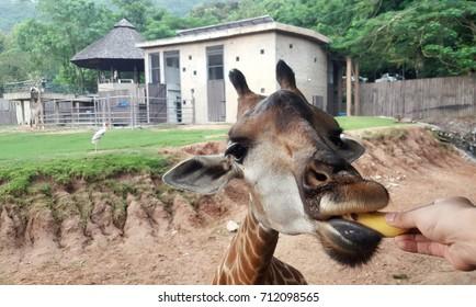 Human hand feeding banana to a giraffe in the open zoo. - Shutterstock ID 712098565