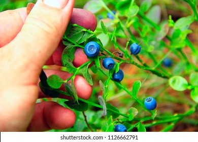 Human hand gathering wild berries. Harvesting whortleberries. Ripe dark berries of bilberry in forest. Picking bilberries. Crop of forest berry. Blue bilberry in wood. Bush of ripe bilberry closeup