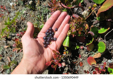 Human hand gathering wild berries. Harvesting whortleberries. Ripe dark berries of bilberry in forest. Picking bilberries. Crop of forest berry. Blue bilberry in wood.