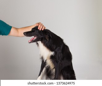 Human hand gently caressing his border collie dog isolated over grey wall background. Cute and funny puppy laughs keeps mouth open. Adopting a pet concept.