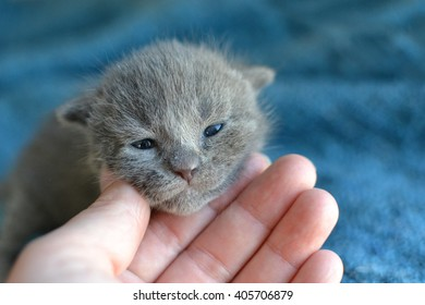 human hand gently holding face of adorable newborn grey blue tabby kitten