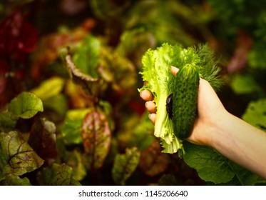 human hand with green salad dill parsley cilantro cucumber on garden-bed background closeup photo