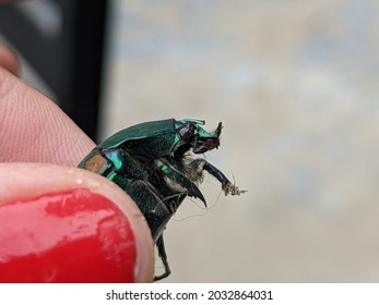Human hand holding a Fig Eater Beetle