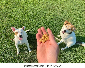 Human hand holding kibble above two trained white rescue dogs sitting in the lush green lawn waiting patiently for food enrichment scatter feeding activity