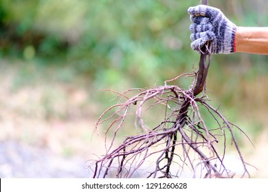 Human hand is holding root of tree