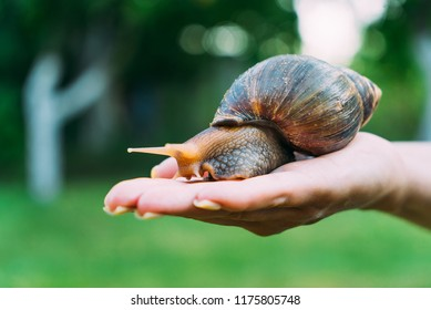 a human hand holds a snail in the palm in the street in the summer. Akhatina has a brown and yellow color
