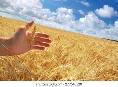 Human hand and meadow of wheat. Concepual scene.