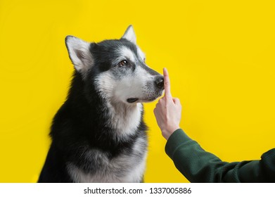human hand ordering silence to an alaskan malamute dog. isolated on yellow background