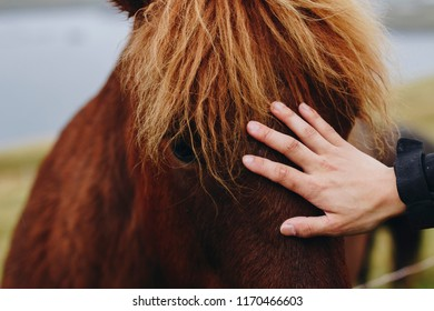 Human hand peting an brown Icelandic horse