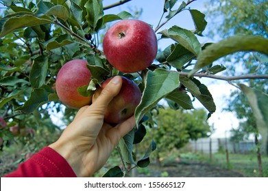 Human hand is picking a red apple from apple tree