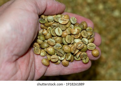 A human hand picks light green Robusta coffee beans into a container before entering the oven to be roasted.