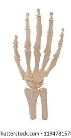 human hand skeleton isolated on white background