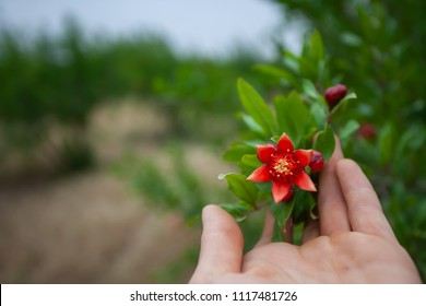 Human hand touching a pomegranate branch with a star shaped flower
