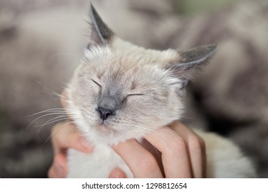 Human hands caress the cat, scratch the face with covered eyes.