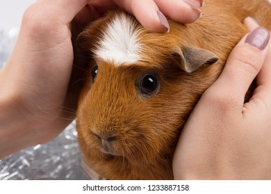 Human hands caressing a cute guinea pig (selective focus on the guinea pig)