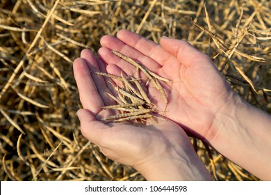 Human hands holding oilseed crop in front of field