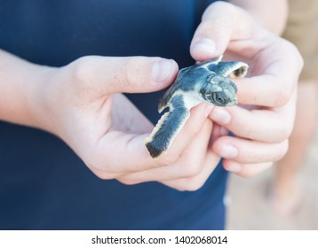 Human hands holding tiny, baby flatback sea turtle hatchling at Bare Sand Island at the top end of Australia