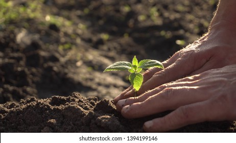 human hands plant a young plant