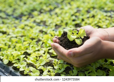 Human hands are planting the seedlings into the vegetable garden