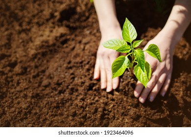 Human hands taking care of a seedling in the soil. New sprout on sunny day in the garden in summer