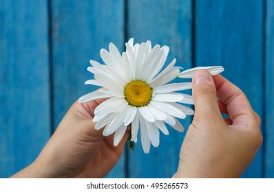 Human hands tear on a petal from a head of daisies on a blue background, top view