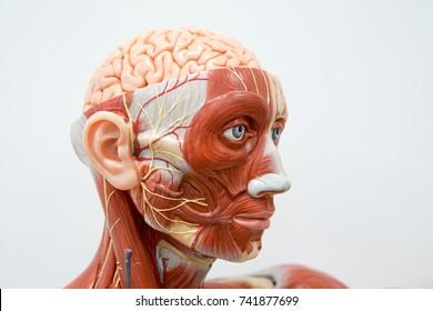 Human head anatomy model for education