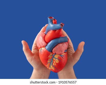 A human heart, anatomical medical model, in her gentle female hands on a blue background. Flat lay.