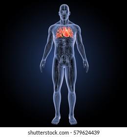 Human Heart anterior view 3d illustration