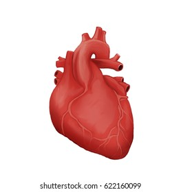 Human heart with capillaries on a white background