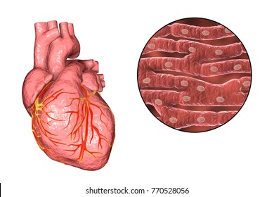 Human heart and close-up view of cardiac muscle structure, 3D illustration