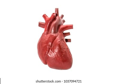 Human heart model on white background