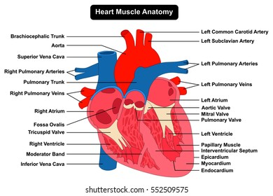 Human heart muscle structure anatomy infographic stock vector human heart muscle anatomy infographic chart figure with all parts aorta aortic arch artery vein right ccuart Image collections