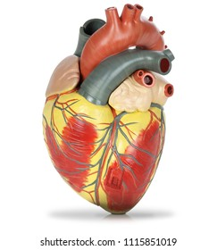 Human heart plastic model isolated