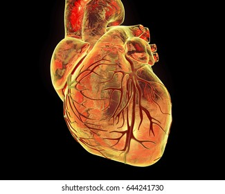 Human heart with heart vessles isolated on black background, 3D illustration