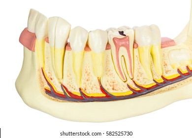 Human jaw model with teeth isolated on white background