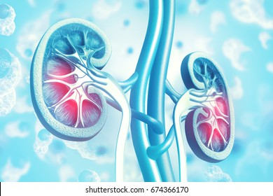 Human kidney cross section on scientific background. 3d illustration