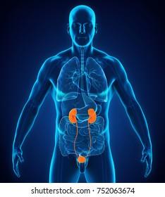 Human Kidneys Anatomy. 3D rendering