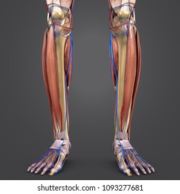 Human legs muscle anatomy with skeleton, arteries and veins anterior view 3d illustration