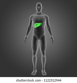 Human liver with body anterior view 3d illustration